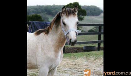 Reg. Welsh gelding yearling on HorseYard.com.au