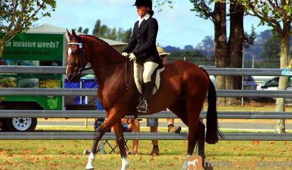 'Stratums Express' Royal Show Quality Hack on HorseYard.com.au