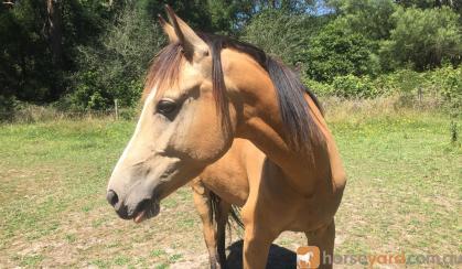 Beautiful Buckskin on HorseYard.com.au