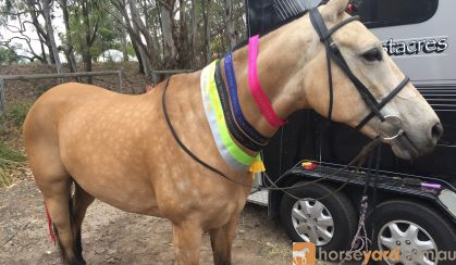 Buckskin SH x QH unregistered 15.2hh 8yo on HorseYard.com.au