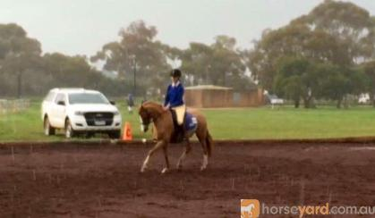 Welsh B Cherrington Romeo on HorseYard.com.au