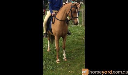 Cherrington Romeo on HorseYard.com.au