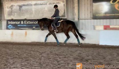 16.2 Bay/Brown Dressage Gelding on HorseYard.com.au