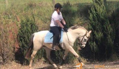 Fun TBxWelsh pony allrounder on HorseYard.com.au