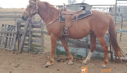 LOVELY STOCK HORSE MARE on HorseYard.com.au