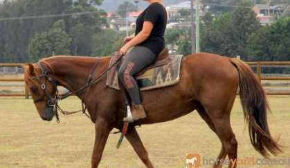 Red Andalusian Gelding on HorseYard.com.au