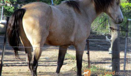 SPIRIT Buckskin QH X Brumby Gelding on HorseYard.com.au