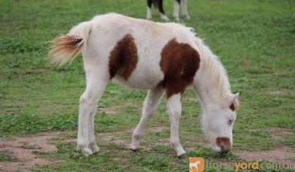 Chestnut Tovero Miniature Horse Colt on HorseYard.com.au