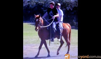 SUPER QUIET RED QH GELDING +VIDEO+ on HorseYard.com.au