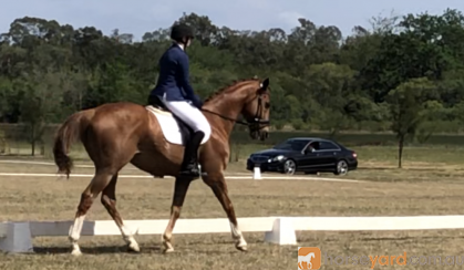El Sasso (Sassy) on HorseYard.com.au