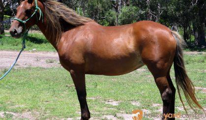 SUPER QUIET QH MARE on HorseYard.com.au