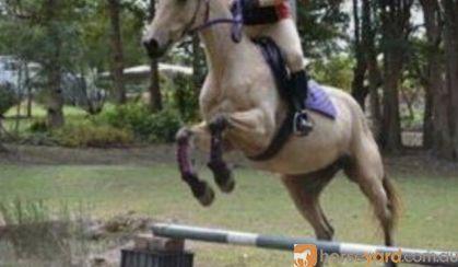 Buckskin QH mare on HorseYard.com.au
