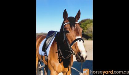 Looking for a forever home  on HorseYard.com.au