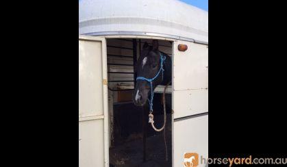 Gelding Welsh X ASH on HorseYard.com.au