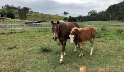 Broodmare on HorseYard.com.au