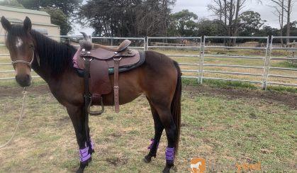 Stock horse on HorseYard.com.au