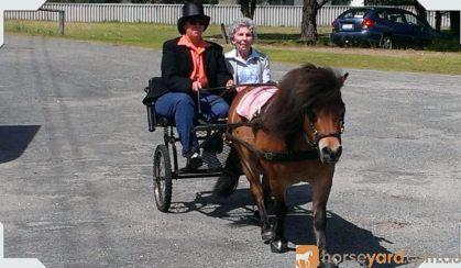 Mr Mack Miniature Pony - ridden or cart. on HorseYard.com.au