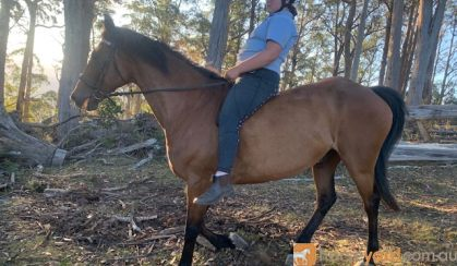 Great Trail Riding Horse on HorseYard.com.au