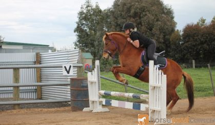 Chestnut Brumby Mare on HorseYard.com.au