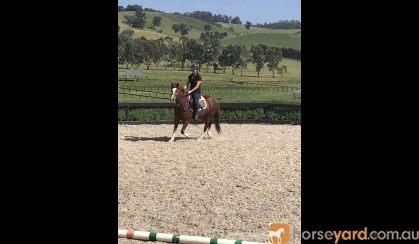 Blingy part bred welsh  on HorseYard.com.au
