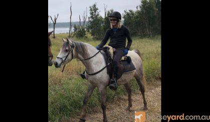 Arabian Riding Pony 7yo - 14.3hh Excalibur Park Roxtar on HorseYard.com.au