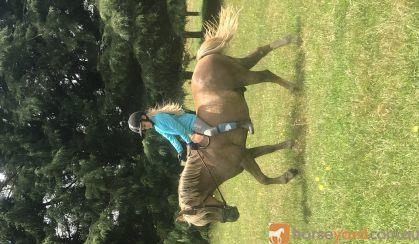 13.2 Haflinger X Gelding 8 years old on HorseYard.com.au