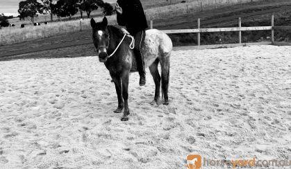 Pepper- Appaloosa teen's mount on HorseYard.com.au