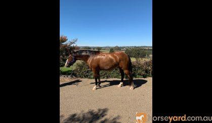 Irish Sport Horse x Waler 5yo 15.2hh gelding on HorseYard.com.au