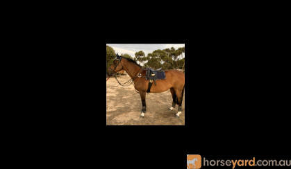HANDSOME GELDING on HorseYard.com.au