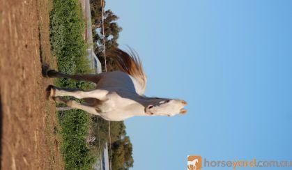 Part bred Arabian  on HorseYard.com.au