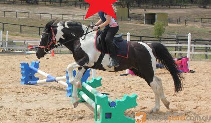 Gizmo - Riding School Reduction on HorseYard.com.au