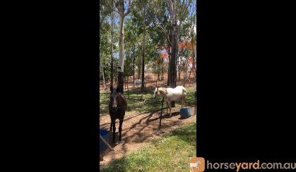 Flashy Palomino Appaloosa gelding on HorseYard.com.au