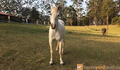 Beautiful companion pony on HorseYard.com.au