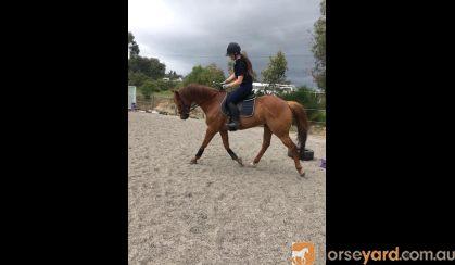 Stunning Chestnut Gelding on HorseYard.com.au