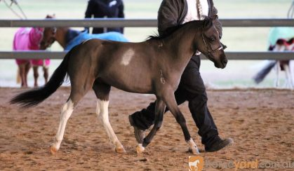 Miniature Horse Stallion on HorseYard.com.au