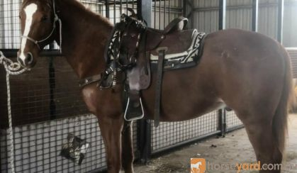 Anglo Arab on HorseYard.com.au