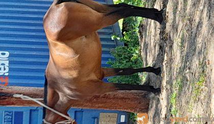Stockhorse mare on HorseYard.com.au