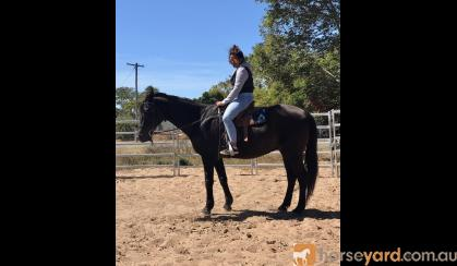 Black ASH Gelding on HorseYard.com.au