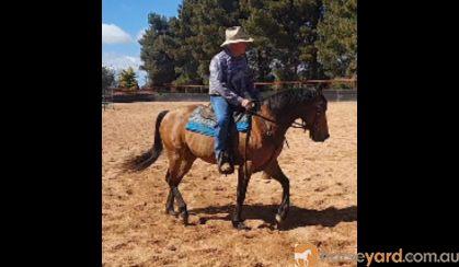 Woodstock Sergeant - Stunning Australian Stock Horse Gelding 11yo Buckskin - Joey on HorseYard.com.au