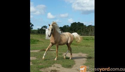 Palomino filly on HorseYard.com.au