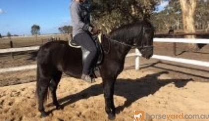 Stunning Black Pony on HorseYard.com.au