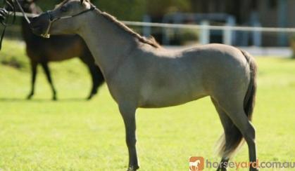 Miniature Horse Mare Full American Buckskin on HorseYard.com.au