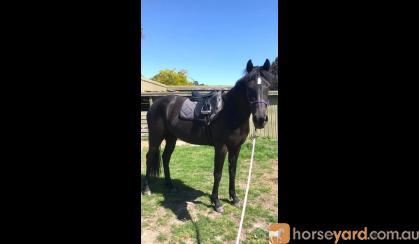 3yo WB Mare for sale on HorseYard.com.au