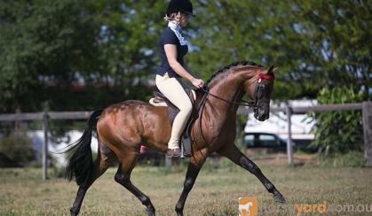 STUNNING riding pony colt on HorseYard.com.au