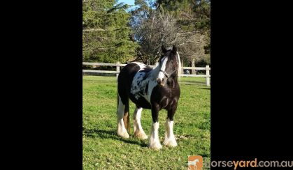 UK Imported Gypsy Cob Vanner Mare on HorseYard.com.au