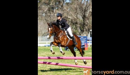 Beautiful All Rounder on HorseYard.com.au