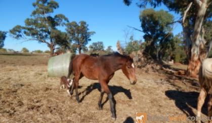 Kilburns Cool Change Bay colt ASH on HorseYard.com.au