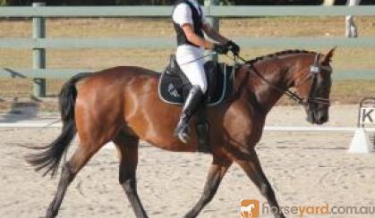 Sweet Natured Warmblood Gelding on HorseYard.com.au