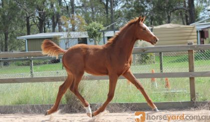 Trying to find - Lauries As 2015 gelding on HorseYard.com.au