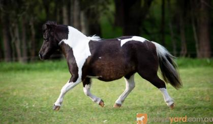 Outstanding Miniature horse mare - by Imported sire on HorseYard.com.au